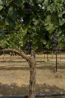 Free Grape Tree Stock Image - 6575561