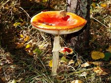 Free A Fly-agaric Is Red (Amanita Muscaria). Stock Photography - 6575772