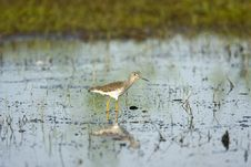 Free Greater Yellowlegs In A Puddle Stock Photos - 6575783
