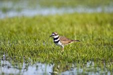 Free A Killdeer In A Flooded Field Stock Image - 6575871