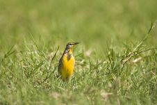 Free Meadowlark Singing In A Field Stock Photo - 6575940
