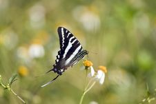 Free A Zebra Swallowtail Butterfly Stock Photos - 6576013