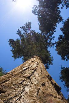 Free Sequoia Tree Stock Photos - 6576263