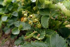Free Green Strawberries Stock Photography - 6576622