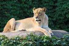 Female Lion Enjoying The Morning Sun Stock Images