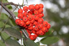 Free Red Berries Royalty Free Stock Images - 6577459