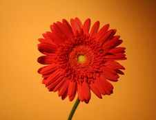 Free African Red Daisy Royalty Free Stock Photos - 6577608