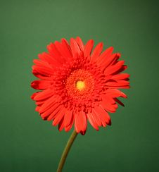 Free Red Gerbera Royalty Free Stock Photo - 6577625