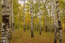 Free Birch Wood Stock Photography - 6577822