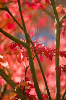 Free Red Leaves Stock Images - 6578624