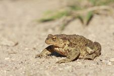 Free Toad On The Road Stock Photography - 6579992
