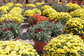 Free Autumn Mums Royalty Free Stock Photos - 6581798