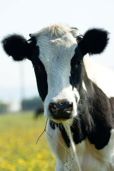 Free Cow Royalty Free Stock Photography - 6580287
