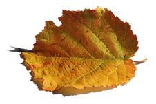 Free Golden Leaf Stock Image - 6580441