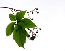 Free Leaf With Berries Stock Images - 6581284