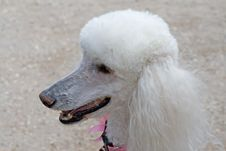 Free Dignified Poodle Royalty Free Stock Image - 6581316
