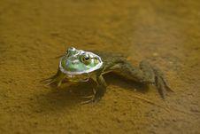Free Frog Stock Photo - 6582310