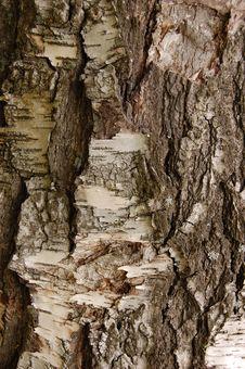 Free Birch Bark Stock Images - 6582354