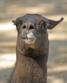 Black Lama Stock Photo
