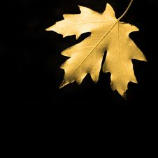 Free Autum Maple Leaf Royalty Free Stock Photo - 6582835