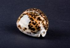 Free Sea Shell Royalty Free Stock Photo - 6584085