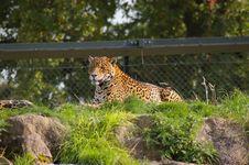 Free Jaguar Royalty Free Stock Image - 6584106