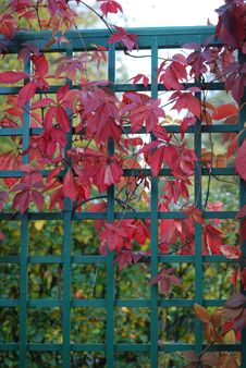 Free Red Leaves Of Vine Are In Autumn Royalty Free Stock Photography - 6585937