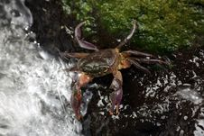 Free Freshwater Crab Stock Images - 6587254