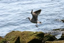Free Seagull Flying Royalty Free Stock Photos - 6587568