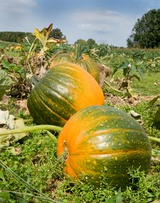 Pumkin Patch Stock Images