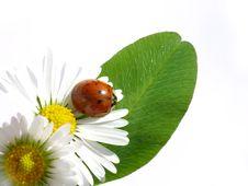 Free Ladybug Royalty Free Stock Photography - 6588047