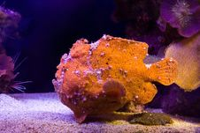 Frogfish Stock Photos
