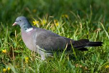 Free Bird - Wood Pigeon2 Royalty Free Stock Photo - 6590615