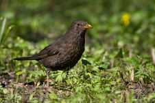Free Bird - Blackbird 1 Royalty Free Stock Photos - 6590748