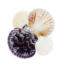 Free Seashells Royalty Free Stock Photography - 6591587