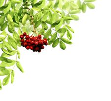 Free Leaves And Berries Royalty Free Stock Images - 6591919