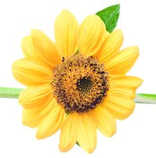 Free Sunflower Royalty Free Stock Photo - 6592305