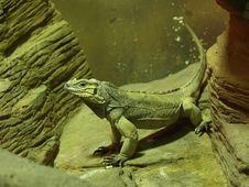 Free Young Iguana Stock Photography - 6592472