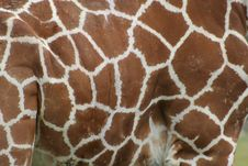 Free Giraffe Skin Stock Photos - 6592503