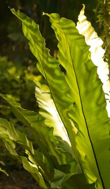 Free Bird Nest Fern Royalty Free Stock Image - 6592556