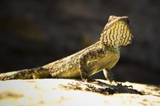 Free Close-up Of A Lizard Royalty Free Stock Photography - 6593137