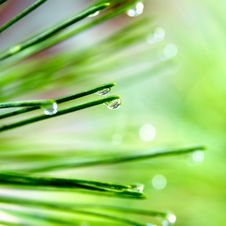 Free Pine Needle With Dewdrops Stock Photo - 6593290