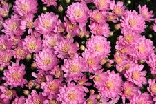 Free Autumn Mums Stock Photos - 6593533