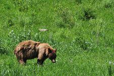 Free Black Bear Walking In A Field Royalty Free Stock Photo - 6593615