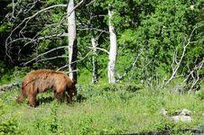 Free Black Bear Walking In A Field Royalty Free Stock Photo - 6593635