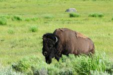 Free Buffalo Royalty Free Stock Photos - 6593688