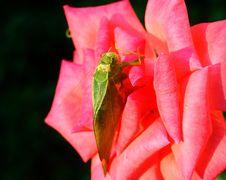 Free Grasshopper Stock Photo - 6593780