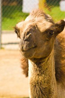 Free Camel Royalty Free Stock Photo - 6593795