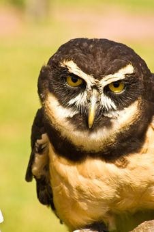 Free Great Horned Owl Royalty Free Stock Image - 6593976