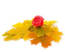 Free Beautiful Scarlet Rose Royalty Free Stock Image - 6593996